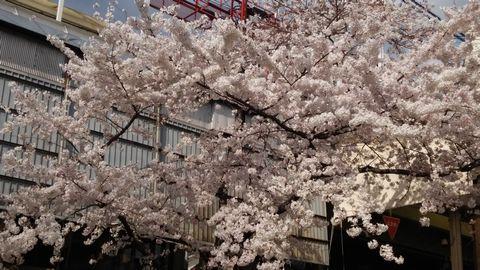 三条児童公園の桜