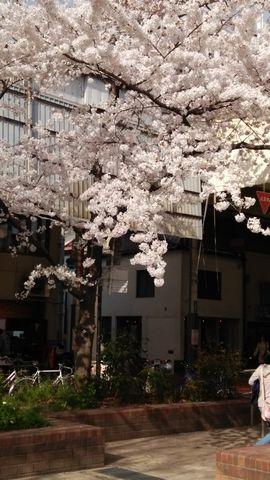 三条児童公園の美しい桜