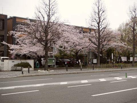 中京中学正門付近の桜